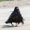 Raven walking across the road with feathers in disarray.