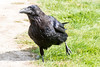 Juvenile raven walking.