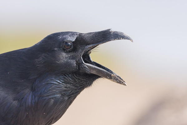 Headshot of raven, break open