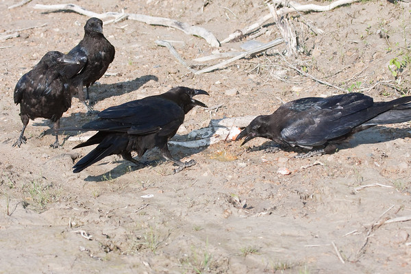 Four ravens, three juveniles and an adult (lower left) near a broken egg on clay surface.