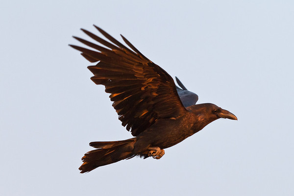 Raven in flight, wings up, dawn