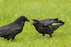 Adult raven with meat in its beak facing juvenile with beak open showing pink mouth.