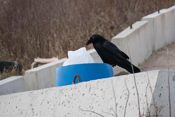 Raven checking out garbage bin.