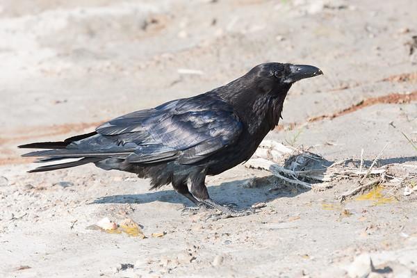 Raven on clay surface, legs down, beak closed.