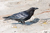 Raven on clay surface, legs down, beak closed.