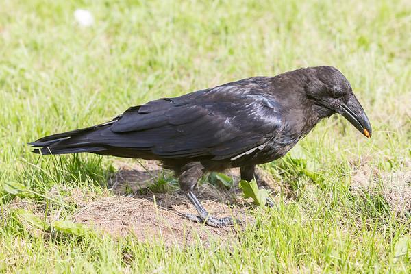 Juvenile raven evaluating a peanut butter m & m.