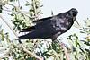 Raven, in tree, beak open, head turned towards camera somewhat.
