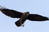 Raven in flight. Wings spread, feet down, beak open.