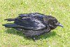 Adult raven on the the grass. Somewhat chuffed up. Nictating membrane partially over eye.