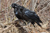 Three juvenile ravens on a pile of grass and sticks