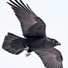 Raven flying overhead, wings outstretched, wingtips out of frame, legs partially extended, cropped to 2336 pixels square