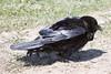 Raven on grass, shaking.