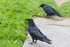 Two ravens on front walk. One with a couple of eggs.
