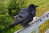 Raven on fence on railway bridge over Store Creek in Moosonee.