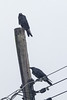 Two ravens on a utility pole.