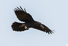 Juvenile raven in flight.