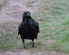 Raven standing on lawn on a wet foggy morning 2016 June 3rd.