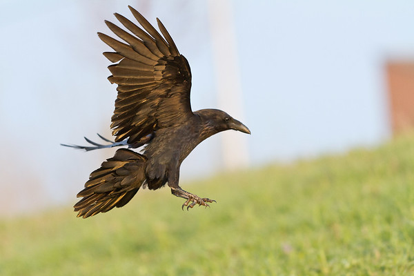 Raven landing, one wing up, feet extended