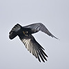Rear view of Raven flying away, leaf stuck to body.