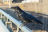 Raven on railing of Ferguson Road bridge over Store Creek.