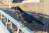 Raven on railing of Ferguson Road bridge over Store Creek.