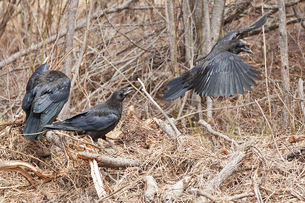 Three juvenile ravens on a pile of grass and sticks. One taking off.