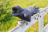 Raven on fence on railway bridge over Store Creek in Moosonee. Chuffed up.