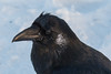 Headshot of raven with frost on side of face and moisture on beak.