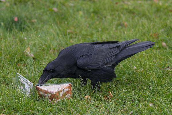 Raven examing sandwich.