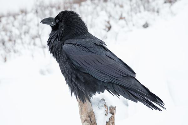 Raven at public docks site in Moosonee. Very light snow.