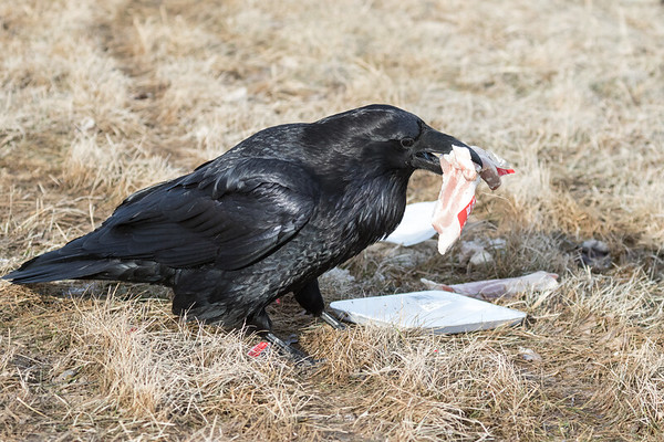 Raven picking up several pieces of meat.