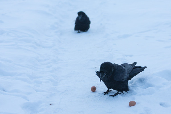 Ravens picking up egs for breakfast. Dominant guards eggs while other raven waits.