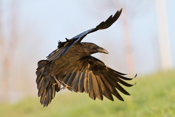 Raven in flight, banking close to ground