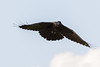 Raven in flight, tail spread, wings back.