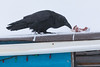 Raven eating ground beef on roof at Keewaytinok Native Legal Services.