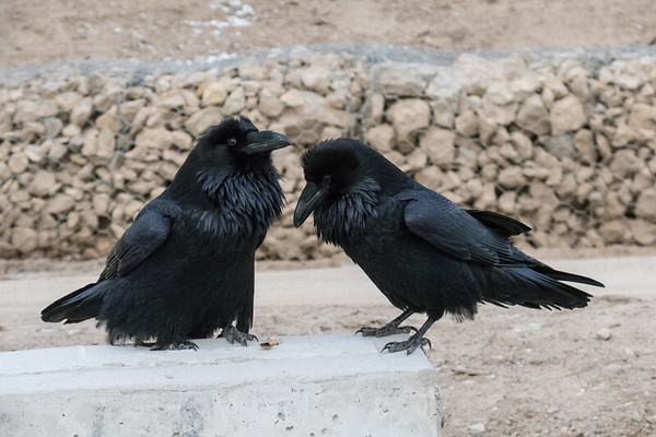 Two ravens at public site in Moosonee.