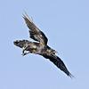 Raven in flight, wings outstretched, descending, beak open.