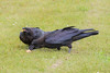 Two juvenile ravens sharing an egg.
