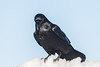 Raven on a snow pile.