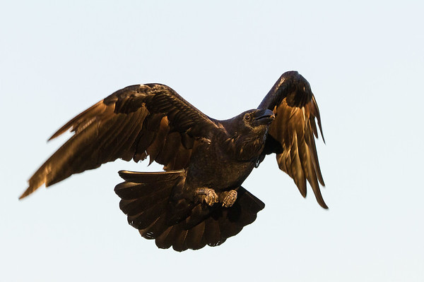 Common raven, in flight, wings bent, tail broad.