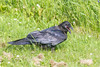 Juvenile raven on the grass with beak open, head turned.