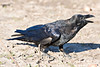 Raven, on ground, slightly crouched, head turned away, beak open.