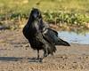 Raven starting to cross Revillon Road in Moosonee. Nictating membranes over eyes.