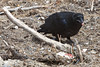 Juvenile raven starts to eat ground beef after observing adult raven eating it.