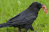 Raven walking with a piece of meat, end of tail and feet out of frame.