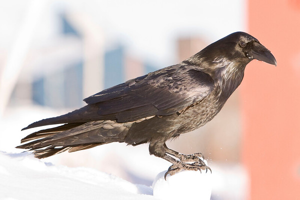 Raven standing on chunk of snow