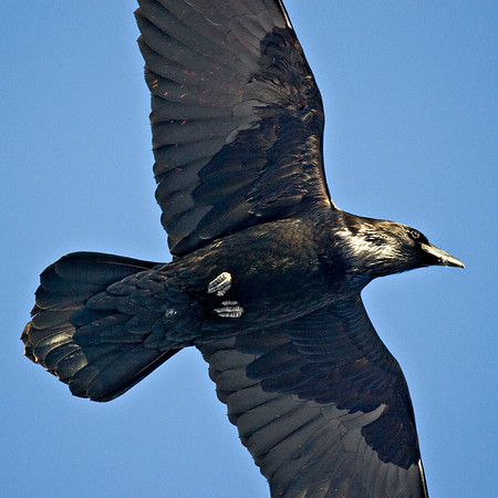 Raven overhead, ends of wings not in frame, red patches on one wing