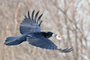 Raven, in flight, carrying meat