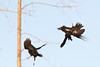 Raven and crow in flight