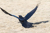 Raven about to take off, egg in beak, wings up, tip of one wing out of frame and out of focus.
